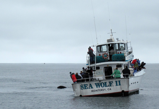 Another whale watching boat, Sea Wolf, surrounded by humpback whales